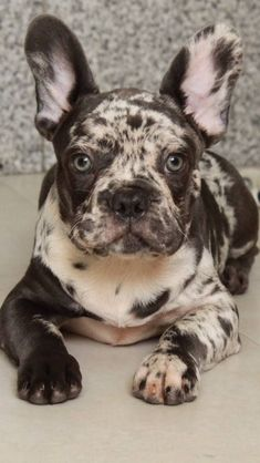 The major breeds of bulldogs are English bulldog, American bulldog, and French bulldog. The bulldog has a broad shoulder which matches with the head. Merle French Bulldog, French Bulldog Puppies, Blue French Bulldogs, Cute Puppies, Cute Dogs, Dogs And Puppies, Doggies, Chihuahua Dogs, Beautiful Dogs