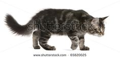 Maine Coon kitten, 4 months old, walking in front of white background