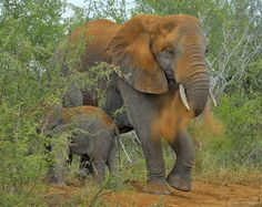 An elephant cow taking a dust bath with her calf (Kruger National Park, South Africa).