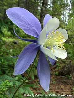 Columbine - beautiful state flower of Colorado