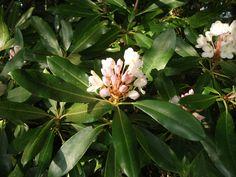 Rhododendron, Blue Ridge Parkway, Virginia