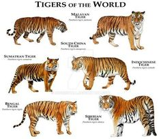 Tigers of the World Poster. - Tap the link now to see all of our cool cat collections!