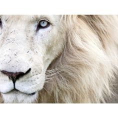Full Frame Close Up Portrait of a Male White Lion with Blue Eyes. ($24) ❤ liked on Polyvore featuring home, home decor, wall art, animals, backgrounds, pictures, cats, saying, quotes and phrase