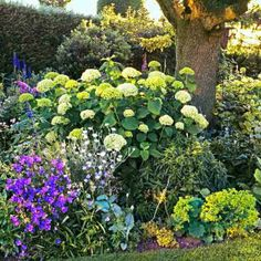 Get the most out of your hydrangeas this summer with our guide to feeding, watering and sheltering.   Photo: Elke Borkowski/GAP Photos   thisoldhouse.com