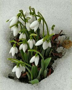 snow and flowers Spring Flowers, White Flowers, Beautiful Flowers, Bloom Baby, Spring Photography, White Gardens, Flower Pictures, Spring Garden, Daffodils