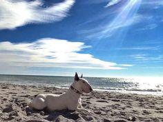 Bull terrier enjoying the surf, sun and sand