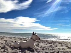 Bull terrier enjoying the surf, sun and sand