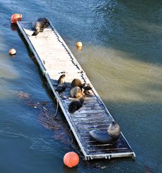We'll all float on okay.. Furry and massive sea lions in #Valdivia, #Chile!