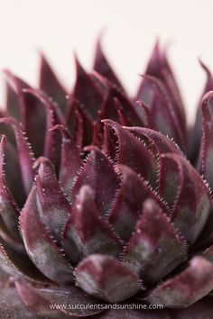 This post shows a lot of colorful cold hardy Sempervivums and talks about why they change colors How To Water Succulents, Growing Succulents, Succulent Gardening, Container Gardening Vegetables, Succulents In Containers, Container Flowers, Cacti And Succulents, Container Plants, Planting Succulents