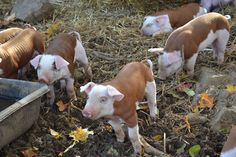 Hereford piglets!! I didn't know there is a breed of pig colored like Hereford cattle. How cool. The babies are cute, tho wouldn't want a grown one. Boars weigh 800 lbs and sows 600 lbs.