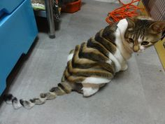 That is some creative grooming.poor kitty looks like his tail was run over I Love Cats, Cute Cats, Funny Cats, Animals And Pets, Funny Animals, Cute Animals, Wild Animals, Crazy Cat Lady, Crazy Cats