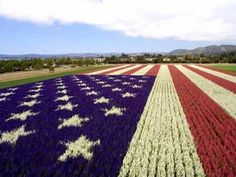 As a patriotic gesture after the tragedy of September Bodger Seeds planted this Floral Flag in Lompoc, California. I Love America, God Bless America, American Spirit, American Flag, American Pride, American History, Larkspur Plant, Million Flowers, Patriotic Pictures
