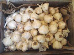 Heathers info on growing elephant garlic