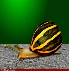 Yellow Squash Snail✖️More Pins Like This of At FOSTERGINGER @ Pinterest✖️