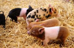 love me some little piggies...