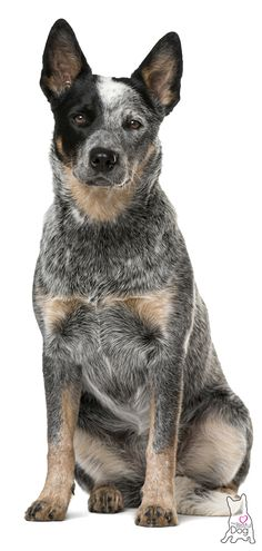 dogs were often called the Queensland Blue Heeler or Blue Heeler. To this day many refer to the Blue Heeler as a different breed/type of cattle dog. Perro Blue Heeler, Blue Heelers, Blue Healer Dog, Aussie Cattle Dog, Cattle Dogs, Baby Animals, Cute Animals, Cat Dog, Pics Art
