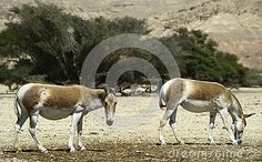 The onager (Equus hemionus) is a brown Asian wild ass by Gorshkov13, via Dreamstime
