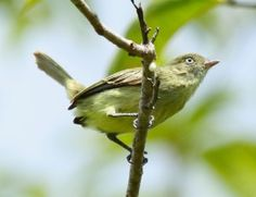 Discoveries in the Amazon: 15 new bird species   EarthSky.org