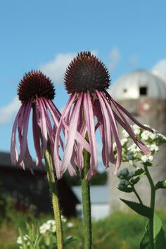 The showy daisy-like flowers of Pale Purple Coneflower bloom in early summer and are a favorite nectar source for butterflies and myriad pollinators, including hummingbirds. Later in summer the large seedheads attract goldfinches and other birds. Echinacea pallida is a highly adaptable plant that is tolerant of drought, heat, humidity and poor soils, but it will not like soils that are too moist with poor drainage.