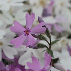 #flowers #flower #beautiful #pretty #blossom #spring #flowerstagram #flowersofinstagram #flowerslovers #芝桜 #travel #travelstagram #japan #tokyo  #ig_flowers #superb_flowers #insta_pick_blossoms #bomdever_flower #bns_flowers #ip_blossoms #myheartinshots #lovely_flowergarden #bns_flowers #ip_blossoms