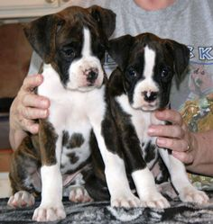 Cute Boxer Puppies for Children and Family Pet | All Puppies Pictures and Wallpapers