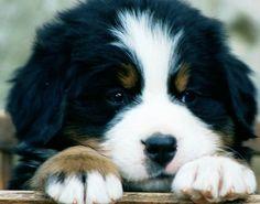 bermese mountain puppyy..