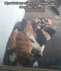 Funny pictures about Awesome Saint Bernard. Oh, and cool pics about Awesome Saint Bernard. Also, Awesome Saint Bernard. Love My Dog, I Love Cats, Crazy Cats, Cute Cats, Animals And Pets, Baby Animals, Funny Animals, Cute Animals, Funny Cats