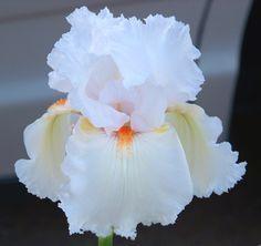 TB Iris germanica 'Crystal Prism' (Silverberg, 1984)