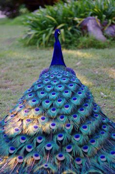 Lots of... Feathers! #bird #peacock #blue