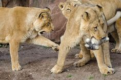 Tierbeschäftigung - Enrichment | Zoo Heidelberg