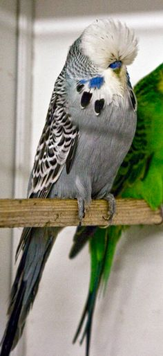 How to breed budgerigars. See pictures of Spangles, Dominant Pied, Recessive Pied, Lutino, and Normals. Discover how to deal with breeding problems.