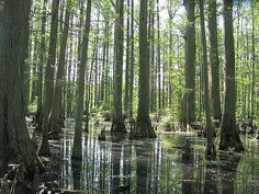 Real Life EverQuest Innothule Swamp  (Cypress Trees - true Louisiana swamp)