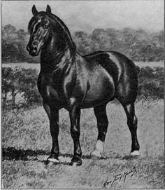 Percheron stallion, Calypso