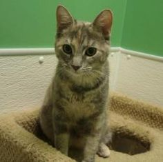 Chrissy is an adoptable Dilute Tortoiseshell Cat in Pekin, IL. Hello there, my name is Chrissy. I am a cute and cuddly little girl who came to TAPS because my family couldn't afford to care for me any...