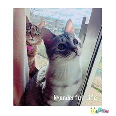 窓際の猫達…(`・ω・´)キリッ * * * * #窓際の猫#猫#猫部#猫バカ#猫バカ部#にゃんだふるらいふ#にゃんすたグラム#猫が好き#我が家の猫#キジトラ#サバトラ#猫もふ団#catstagram#cat#やっぱり猫が好き#猫がいる生活#愛猫