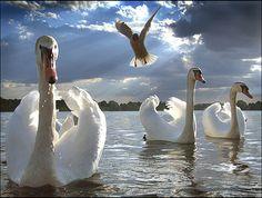 Swans - title Love Surreal - By Valerij Sluschenkov