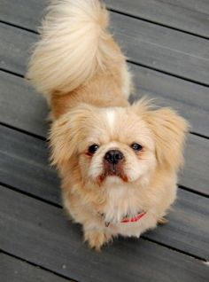 Mio is a 3 year old, 19.5lb. Pekingese. is a flying dog that was observed flying through the air when his former owners threw him from their moving car.  Luckily for Mio, a Good Samaritan witnessed the incident and rushed to Mio's aid.  She took Mio to Paces Ferry Veterinary Clinic, where Dr. Merritt pronounced Mio to be healthy and unharmed by his horrible experience. He has a loving nature and calm demeanor.  He gets along with dogs and cats, loves to be held, ride in the car & go for…