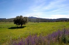 Spring in Spain, field view with old olive tree, poppies and wild flowers