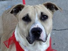 --NOW ON DEATH ROW-DIES in the AM-PLEASE KEEP SHARING--SORAYA is an adoptable Pit Bull Terrier Dog in New York, NY. A volunteer writes: Soraya is a beautiful young female who has already been a mother...and just very recently. She came to us without her p...