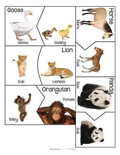 Mother and baby animal self-correcting puzzles activity.  There are 20 puzzle pairs using real photographs with white backgrounds. Goose, lion, oranguatn, horse, panda, sheep, polar bear, dog, elephant, pig, cat, rabbit, rhinoceros, donkey, goat, frog, giraffe, chicken, cow, and butterfly. Works well for classroom activities and homeschooling.