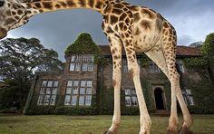 ¿Qué quieren las jirafas para desayunar?  Estas fotografías reflejan lo que ocurre todos los días a la hora del desayuno en el hotel Giraffe Manor, situado en Nairobi (Kenia).