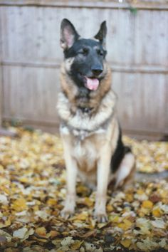 German Shepherd Living in Cape May  Monkey a/k/s Sir Paddington