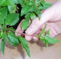 Great guide for growing fuchsias from cuttings, as well as info to make the plant grow more flowers.