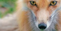 Red Fox by normalityrelief