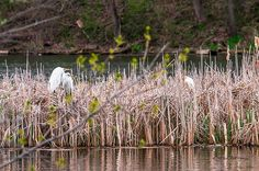 Great And Cattle Egrets Photograph