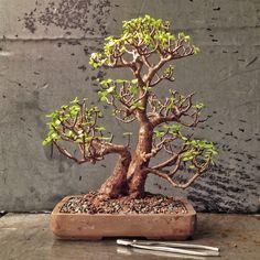 Do you like bonsai? Then choose these 10 kinds, which are the best bonsai plants! Jade Plant Bonsai, Jade Plants, Bonsai Plants, Bonsai Garden, Bonsai Trees, Indoor Bonsai, Green Plants, Bonsai Pruning, Bonsai Soil