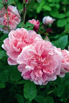 Rosa 'Cottage Rose' ~ English rose.