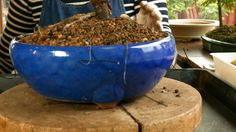 170) Lilac Bonsai Repotting and Pruning, Syringa vulgaris Bonsai repotti...