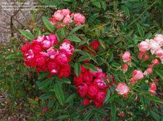 Pollyantha Rose