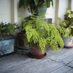 My favorite fern of all~the maidenhair